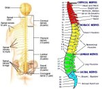 Spinal Nerves relate to body parts and organs - Thank you universal-review.ca for this image.