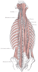 Many Back Muscles - Thank you Gray's Anatomy