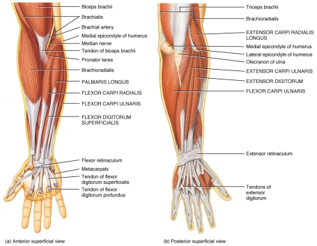 muscles-of-the-forearm-and-hand-medial-muscle-forearm-7-muscles-of-the-forearm-and-hand.jpg